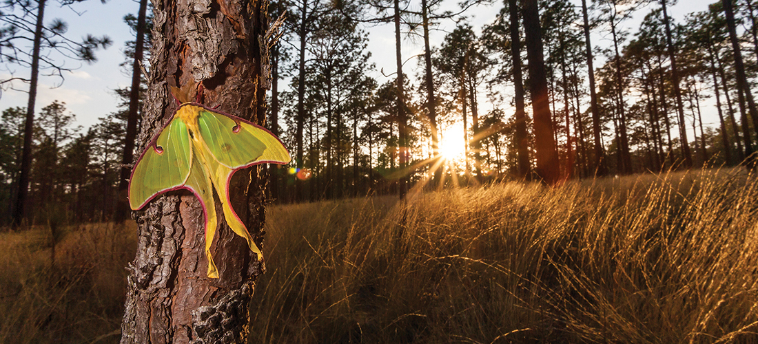 Longleaf Majesty - PineStraw Magazine