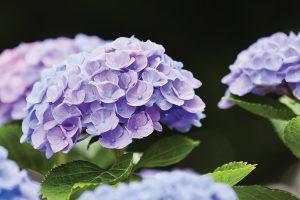 Purple Hydrangea Flower in Early Summer